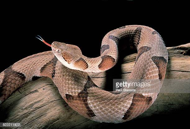 agkistrodon contortrix (copperhead) - copperhead snake stock pictures, royalty-free photos & images