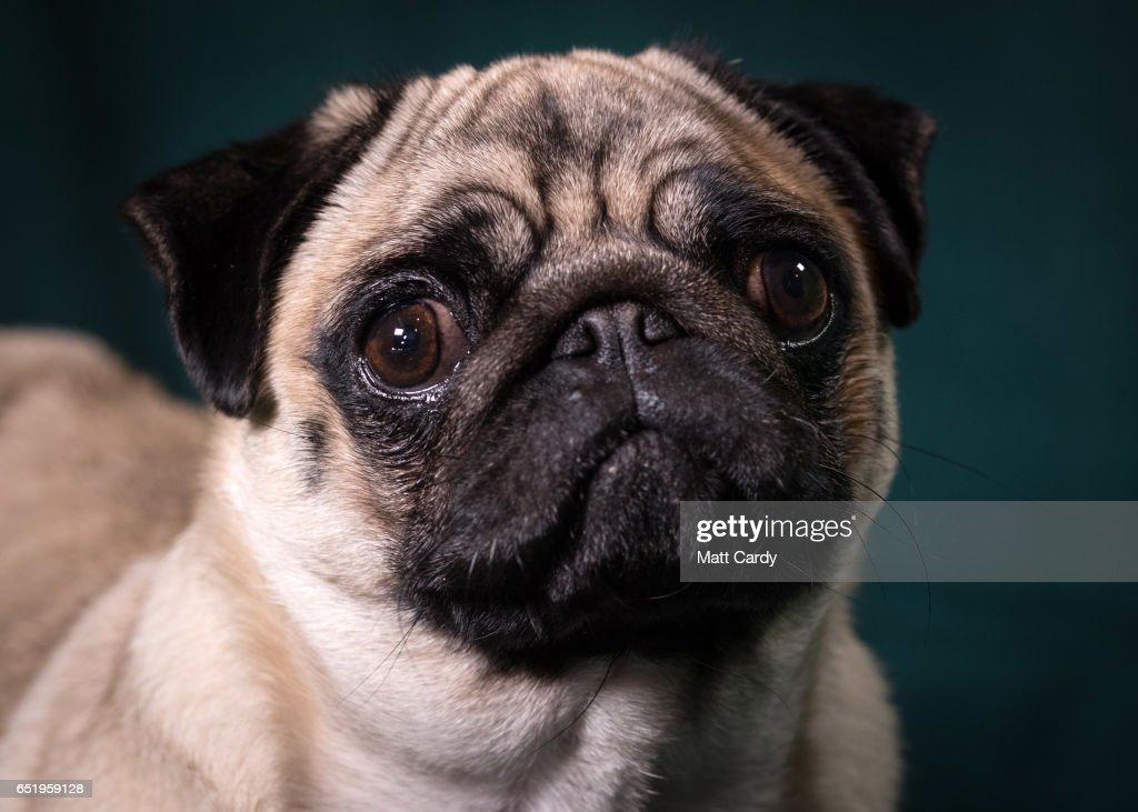 Crufts 2017 - Portraits Of Man's Best Friend : Nieuwsfoto's