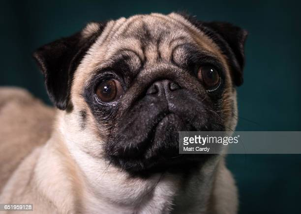 Agnes a Pug bitch poses for a photograph on the second day of Crufts Dog Show at the NEC Arena on March 10 2017 in Birmingham England First held in...