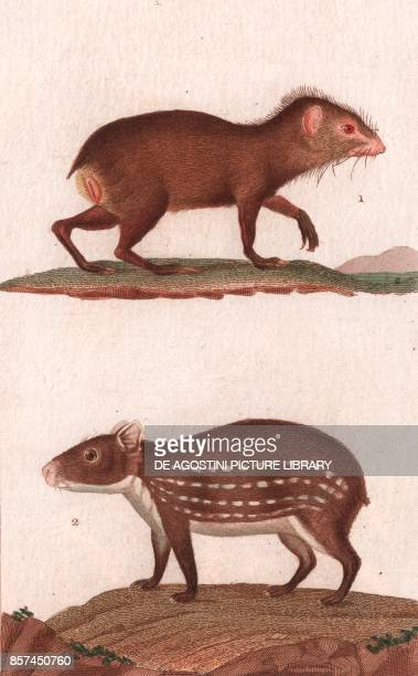 1 Agouti 2 Paca colour copper engraving retouched in watercolour 9x15 cm from Dizionario delle scienze naturali compilato da vari professori del...