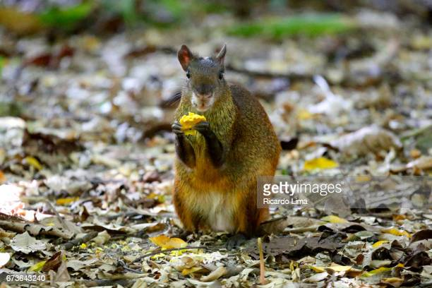 Agouti ( Dasyprocta puntata ) animal Behavior