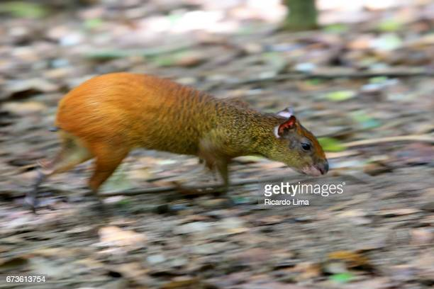 Agouti ( Dasyprocta puntata ) In Amazon Region