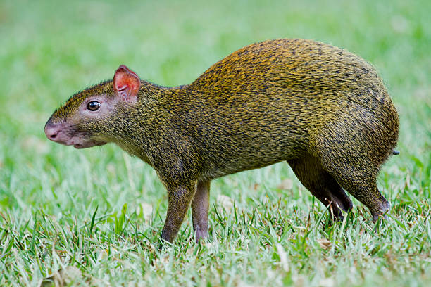 Image result for agouti