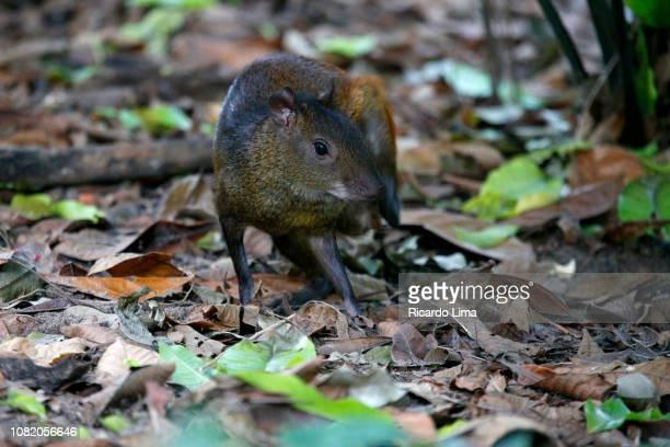 Agouti (Dasyprocta puntata ) Pictured In Amazon Region, Brazil