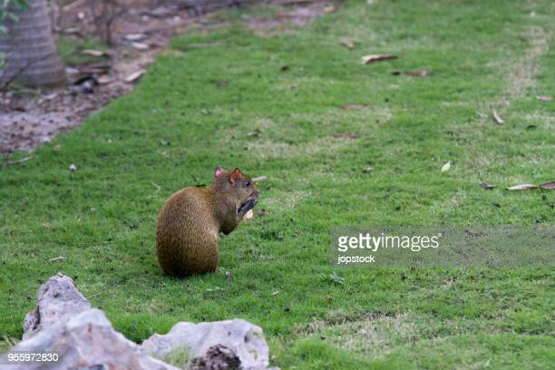 Agouti Rodent in Mexico