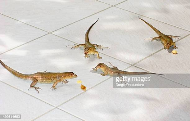 agressive lizards compete and fight for food - カリブ海オランダ領 ストックフォトと画像
