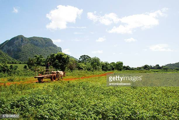 agricolture in cuba - valle de vinales stock photos and pictures