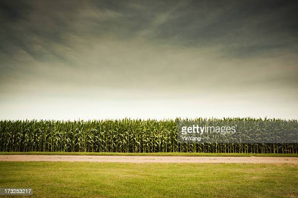 agricultural cornfield under stormy sky forecasts gmo corn crop dangers - corn stock pictures, royalty-free photos & images