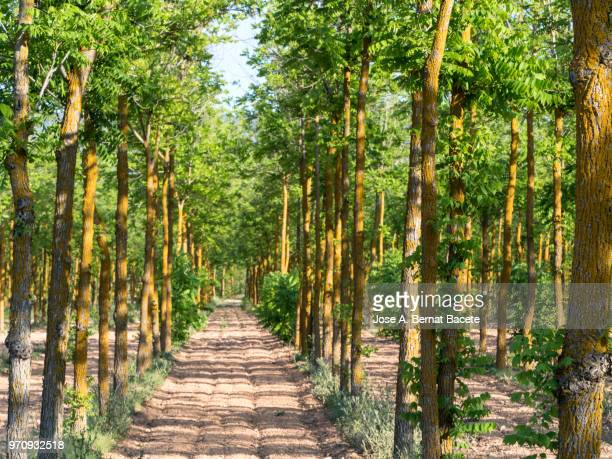 agricultural cultivated field with trees walnuts in spring. - grove stock pictures, royalty-free photos & images