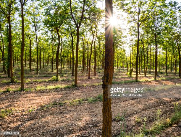 agricultural cultivated field with trees walnuts in spring. - walnut stock pictures, royalty-free photos & images