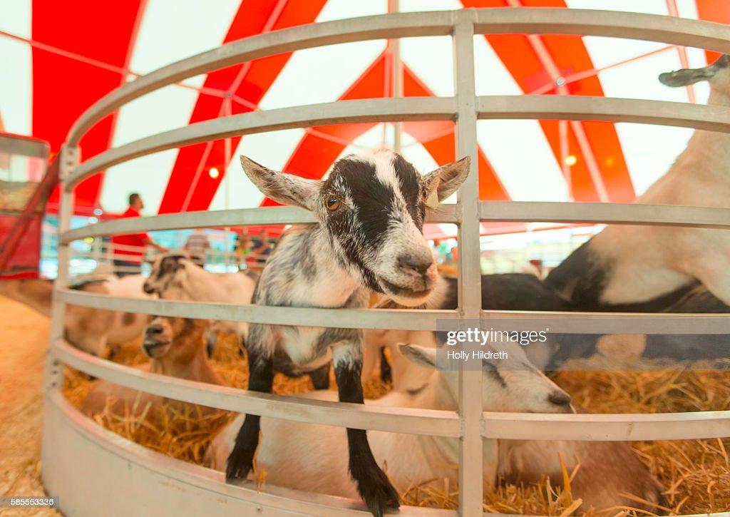 Agricultural fair goat : Stock Photo