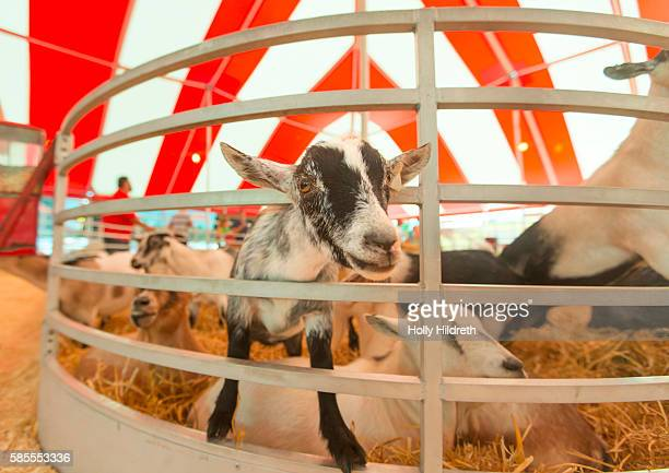 Agricultural fair goat