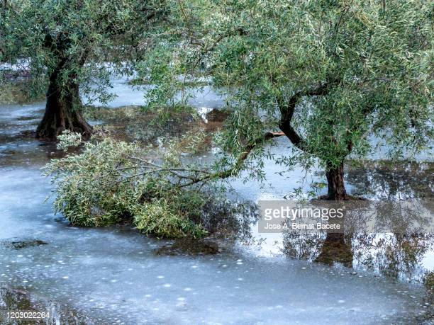 agricultural field of olive trees affected by a winter snowstorm. - distruzione foto e immagini stock