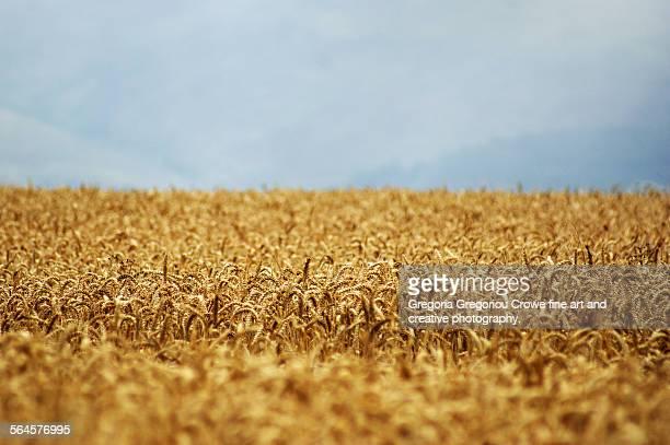 agricultural field - gregoria gregoriou crowe fine art and creative photography stockfoto's en -beelden
