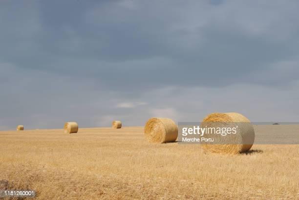 agricultural field with alpacas - castilla y león bildbanksfoton och bilder