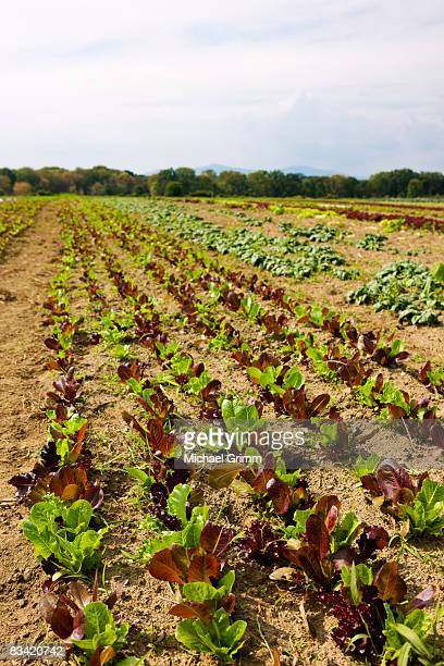 agricultural field with rows of lettuce