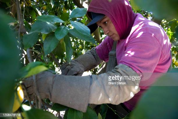 Agricultural laborers pick lemons inside the orchards of Samag Services, Inc, where they grow Avocado, Lemons and Oranges. The bottom has fallen out...