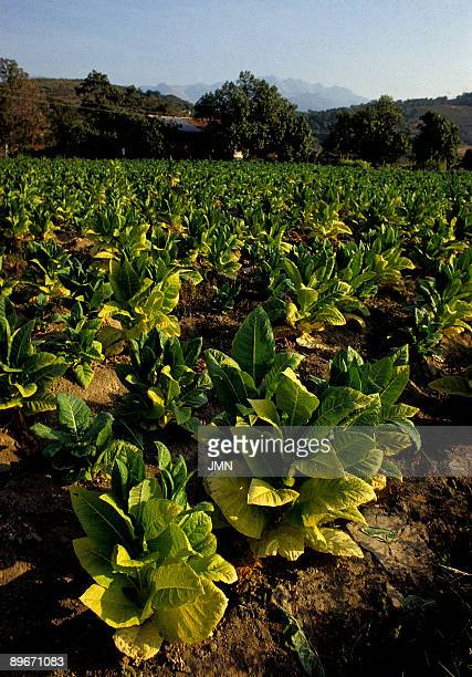 Agricultural landscape Caceres Tobacco growing in La Vera