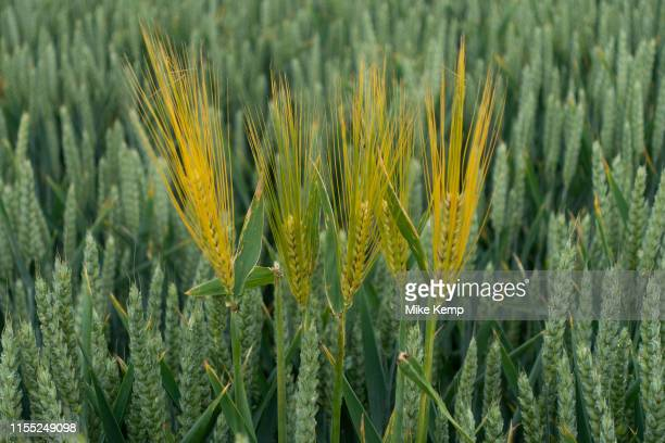 Agricultural landscape of fields of corn with a few barley heads standing out from the crowd near to Long Itchington England United Kingdom