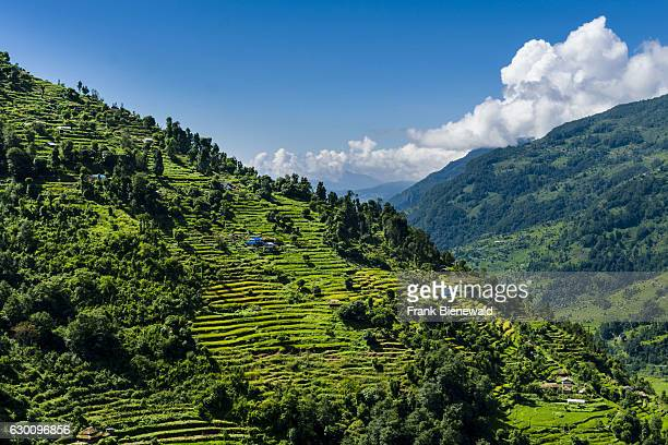 Agricultural landscape with green terrace rice and barley fields and some farmhouses in Upper Modi Khola valley