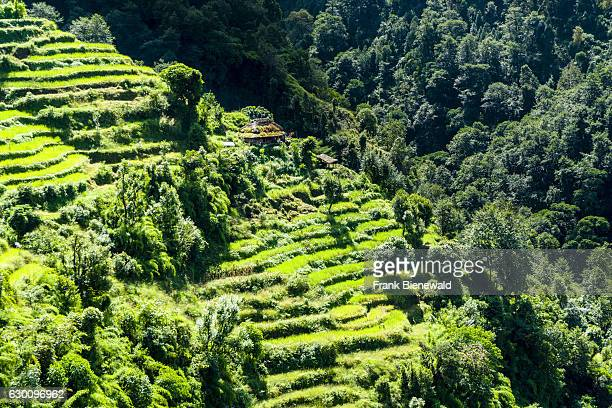 Agricultural landscape with green terrace rice and barley fields and a farmhouse in Upper Modi Khola valley