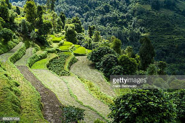 Agricultural landscape with green terrace rice and vegetable fields surrounded by trees in Upper Modi Khola valley