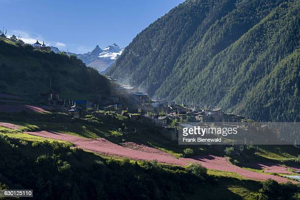 Agricultural landscape with pink buckwheat fields in blossom in the Upper Marsyangdi valley the village Upper Pisang in the distance