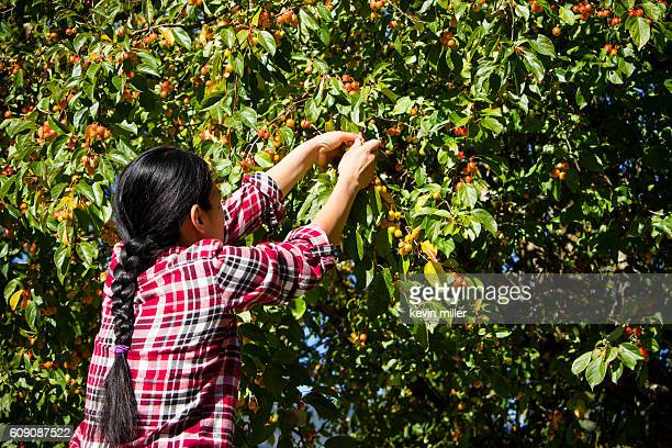 Agricultural Occupation Harvesting Crabapple