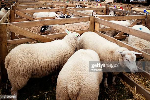 agricultural show - sheep pens with rosettes - livestock show stock pictures, royalty-free photos & images