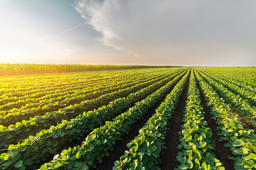 Agricultural soy plantation on sunny day - Green growing soybeans plant against sunlight 802349002