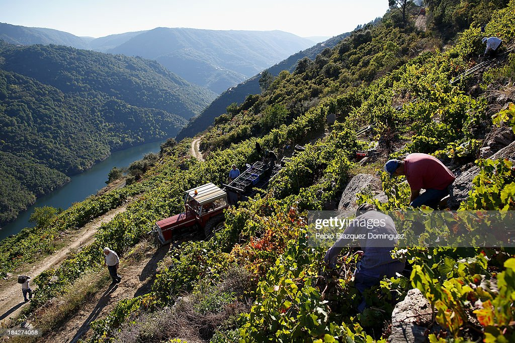 The Grape Harvest Is Gathered In On The Slopes Surrounding The Sil River : ニュース写真