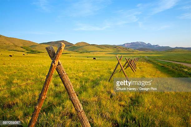 Agriculture - A pole and wire fence runs along a gravel ranch road with Black Angus cattle grazing on a healthy green pasture in the background / Rocky Mountain Front, Montana, USA.