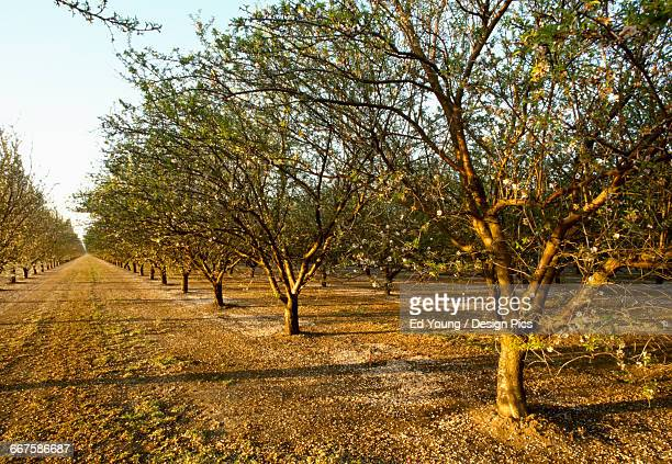 Agriculture - Almond orchard at the post petal fall stage, with grassy middles / near Crows Landing, San Joaquin Valley, California, USA.