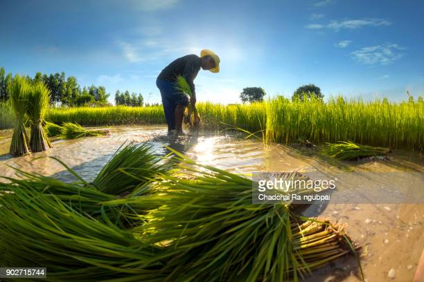 agriculture asia - paddy field stock pictures, royalty-free photos & images