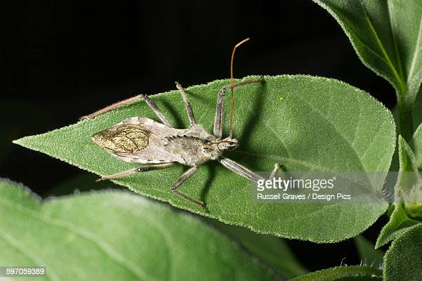 agriculture - assassin bug on a sunflower leaf / childress, texas, usa. - kissing bug stock photos and pictures