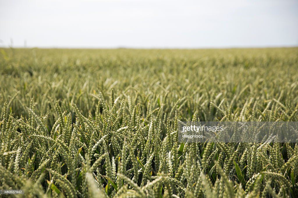 Agriculture | Big cornfield in Holland : Stock Photo