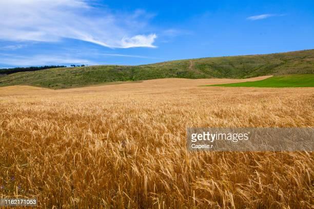 agriculture - champs de blé - crepuscolo foto e immagini stock