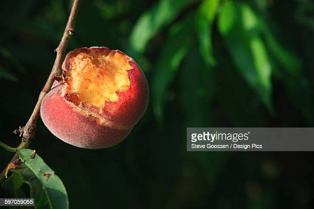 agriculture - closeup of bird damage to a ripe queencrest peach on the tree / near dinuba, california, usa. - pest stock photos and pictures