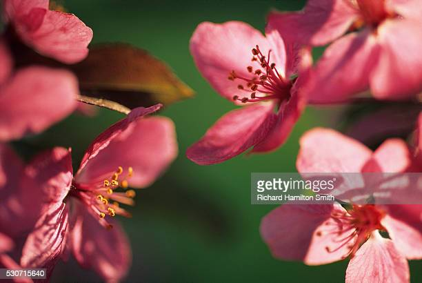 agriculture - closeup of crab apple blossoms; door county, wisconsin, usa. - staadts,_wisconsin stock pictures, royalty-free photos & images
