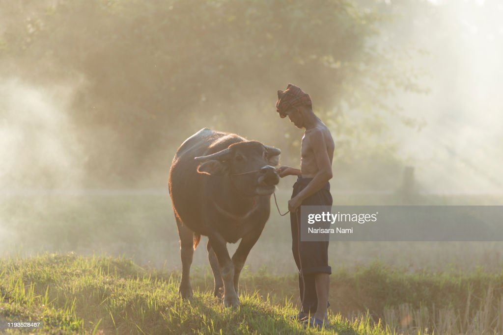 Agriculture concept. Asian farmer working with his buffalo on the rice field. : Stock Photo