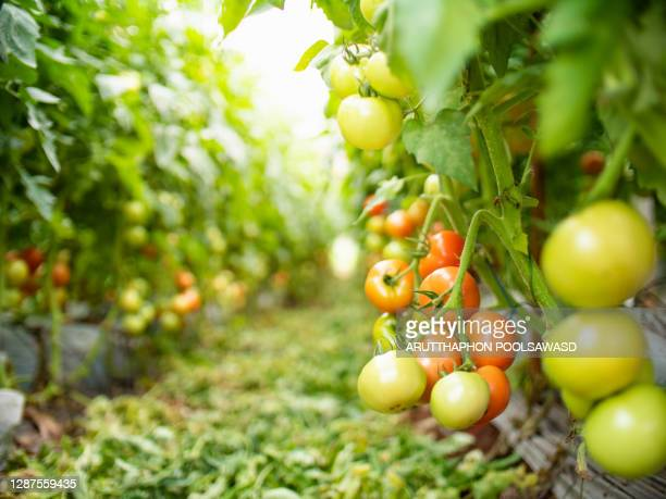 agriculture concept tomato in farm - sports round stock pictures, royalty-free photos & images