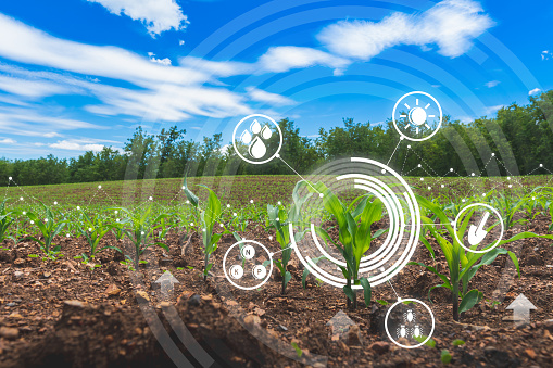 agriculture digital farm cornfield technology concepts with growing maize in the cultivated field 1163941571