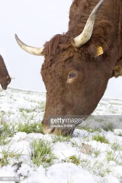 Agriculture Elevage bovin de race salers Troupeau au parc dans la neige en hiver Vache broutant dans la neige