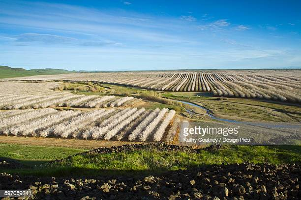 Agriculture - Elevated view of an almond orchard in full bloom in late Winter / Glenn County, California, USA.