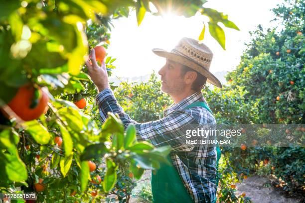 オレンジの木の果実をチェックする農業農家 - 栽培する ストックフォトと画像