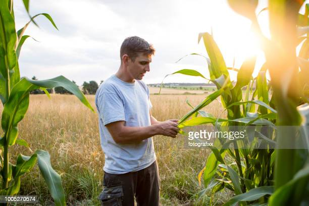 agriculture: farmer stands in his field looks at his corn - corn cob stock pictures, royalty-free photos & images