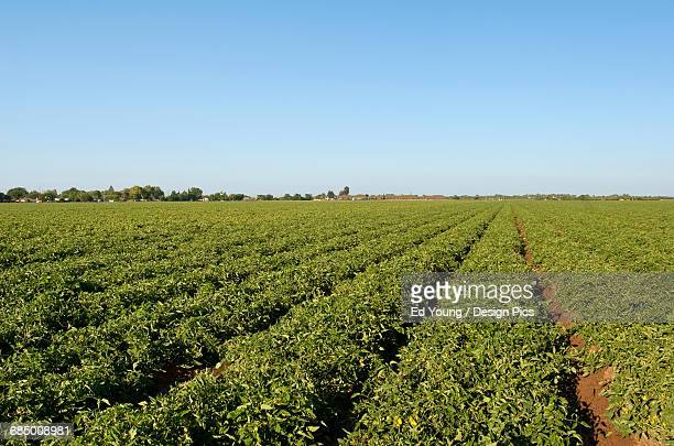 Agriculture - Field of healthy processing tomatoes in mid summer / near Crows Landing, San Joaquin Valley, California, USA.