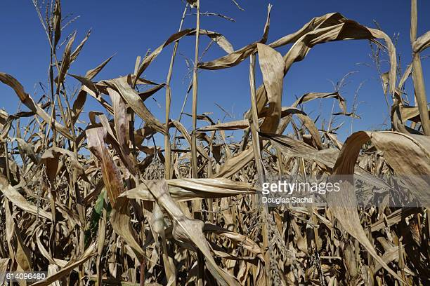 Agriculture field with dried corn stalks