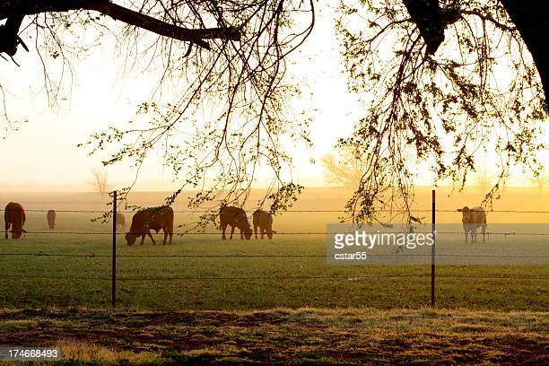 Agriculture: Foggy Farm Sunrise with cattle in field, fence, branches