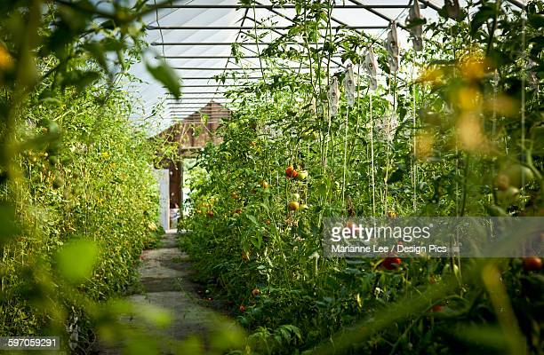 Agriculture - Fresh Market hydroponic tomatoes growing in a greenhouse at a local family produce farm / Little Compton, Rhode Island, USA.